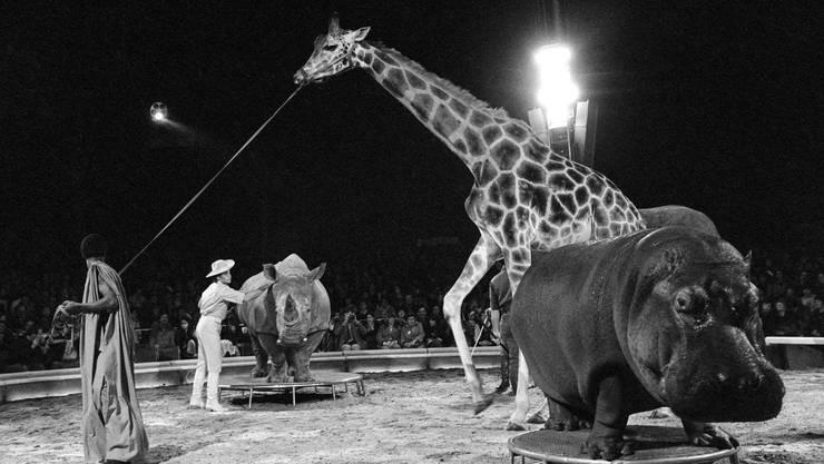 Im Programm des Zirkus Knie treten die vier grössten afrikanischen Säugetiere - eine Giraffe namens Malik, ein Breitmaulnashorn namens Zeila, ein Nilpferd namens Juba und eine afrikanische Elefantkuh namens Malajka - gemeinsam in der Manege auf, aufgenommen während der Saisonpremiere am 15. März 1980 in Rapperswil.