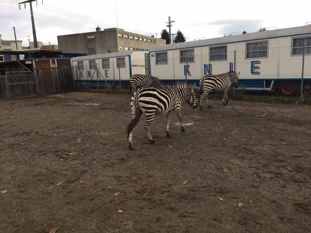 Die Zebras sind wieder zuhause.