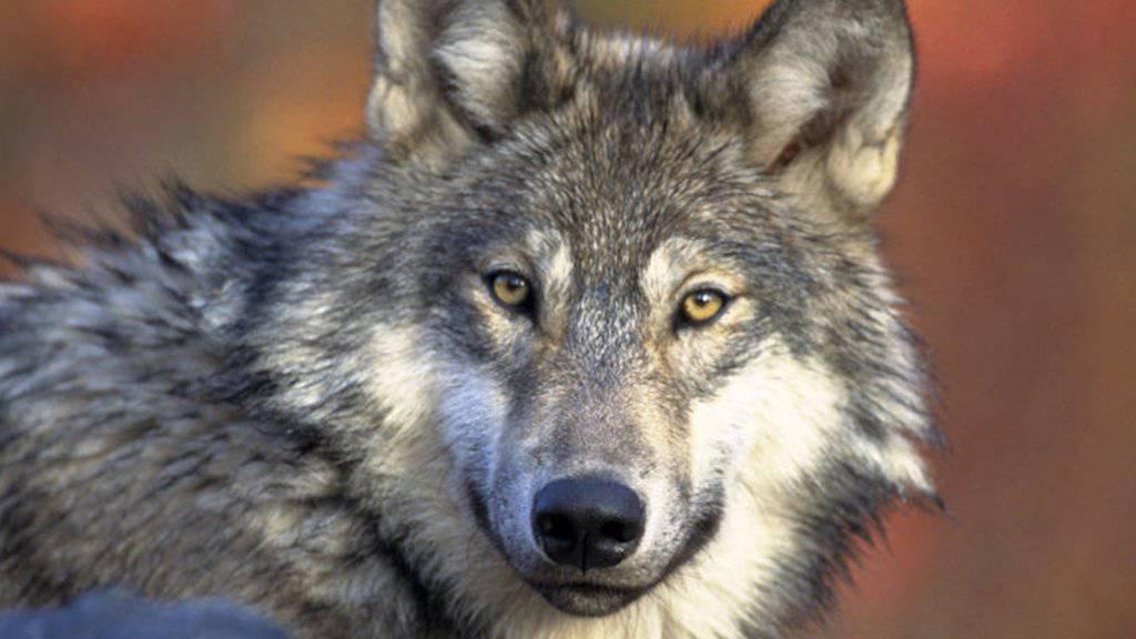 KEYSTONE/AP U.S. Fish and Wildlife Service/GARY KRAMER