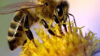Die Bienen sammelten 2013 wegen der Wetterkapriolen im Frühling deutlich weniger Blütennektar. azr