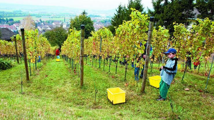 Oben auf dem Vogelherd am nordöstlichen Dorfrand wachsen die Trauben für den «Oensingen Regent». (Alois Winiger)