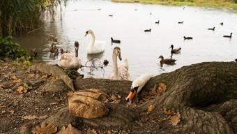 Noch besteht keine Gefahr, dass Wasservögel am Klingnauer Stausee Hausgeflügel mit dem Vogelgrippe-Virus anstecken.