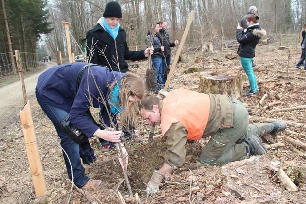 Unter Anleitung von Forstmitarbeitern werden die Eichen gepflanzt