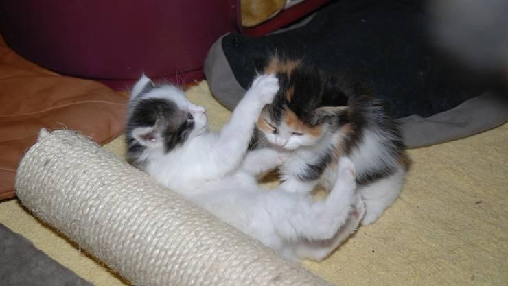 Jungkatzen genügen sich beim Spielen oft noch selber. Werden sie grösser, da ist fast alles im Haus für sie scheinbar zum Spielen geeignet