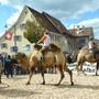 Am dreitägigen Röschenzer Dorffest wurde ein Kamelrennen veranstaltet. (Archiv)