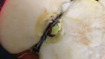 Entdeckt hat ihn eine Familie aus Wehr. Den Apfel hatte sie in einem Lebensmitteldiscounter in Bad Säckingen gekauft.