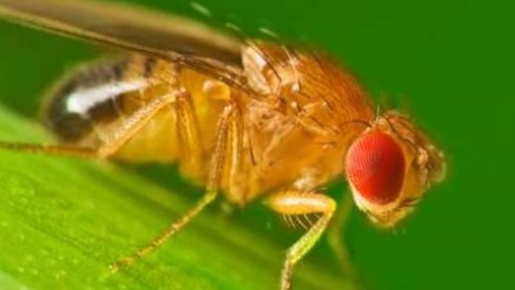Die Taufliege Drosophila gehört zu den am meisten verwendeten Modellorganismen in der Forschung.