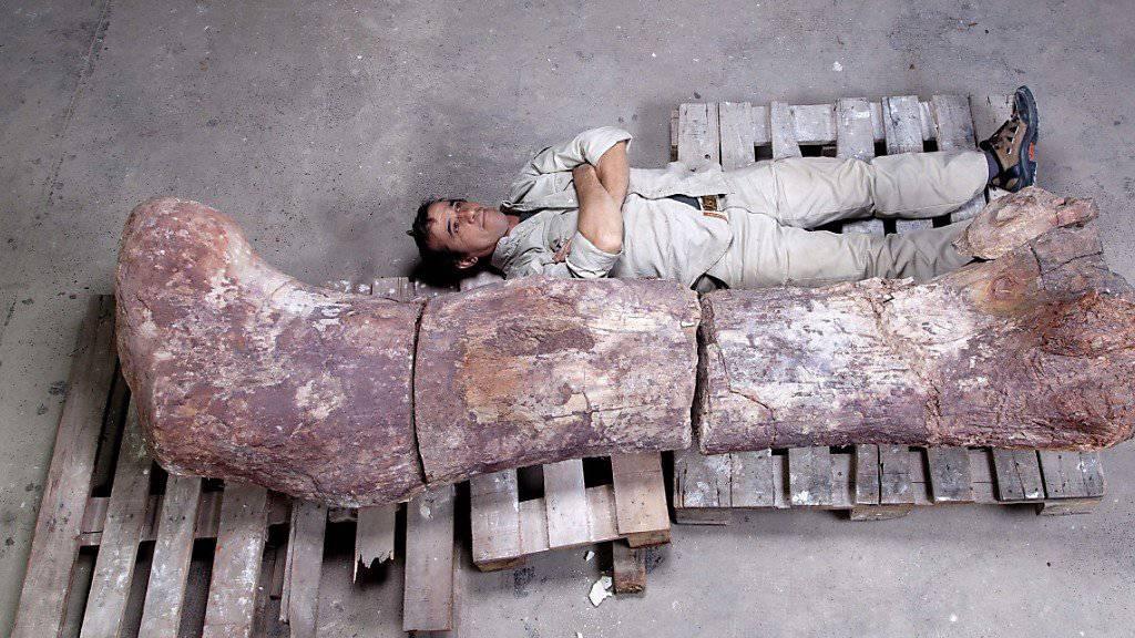 Ein Mitarbeiter des Museums Paletontológico posiert zum Grössenvergleich neben einem Oberschenkelknochen des gigantischen Sauriers. (Archivbild)