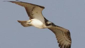 Der blaue Ring am rechten Bein des Fischadlers und die Antenne des Senders, die über seine Schwanzfedern hinausragt, verraten die Schweizer Herkunft des Greifvogels auf diesem am 22. Dezember in Senegal geschossenen Foto.