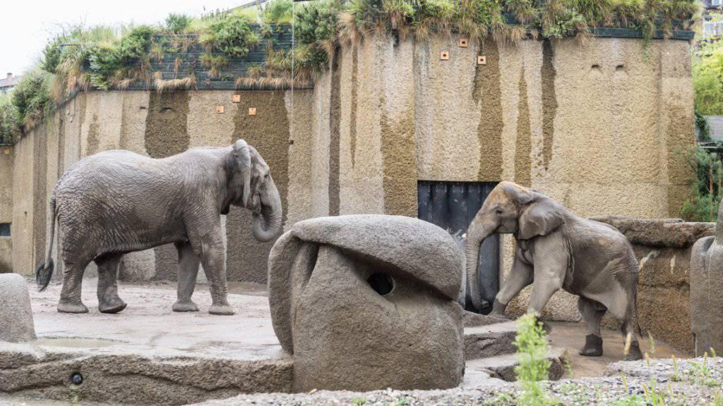 Vorsichtiges Annähern von Bulle Jack und Elefantendame Maya im Zoo Basel.