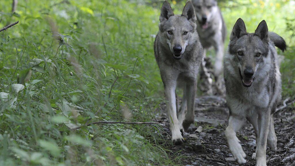 Graubünden gibt drei Jungwölfe des Beverin-Rudels zum Abschuss frei