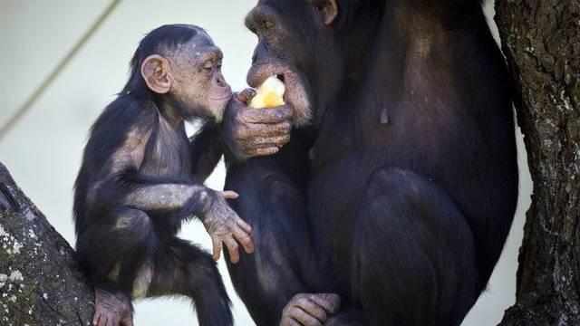 Ein Patent auf gentechnisch veränderte Schimpansen verletze die ethischen Grenzen, finden mehrere Tierschutzorganisationen (Symbolbild)
