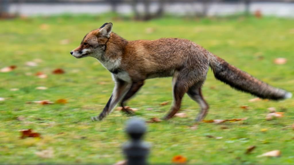 Ein Fuchs läuft auf einer kleinen Wiese in Berlin Mitte. Foto: Christophe Gateau/dpa