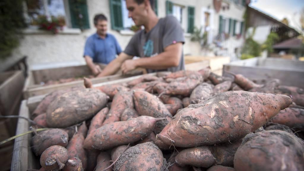 Matthias Hagen baut schon seit mehreren Jahren Süsskartoffeln an. (Archiv)