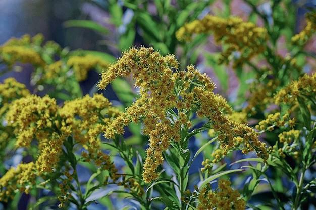 Goldruten (Solidago) sind in allen Landesteilen häufig bis sehr häufig. Als Zierpflanze aus Nordamerika eingeführt.