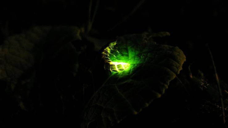 Der mystische Käfer, der leuchtet: Ein Weibchen auf einem Blatt erhofft sich, dank seines grünen Glühens ein herumfliegendes Männchen anzulocken.