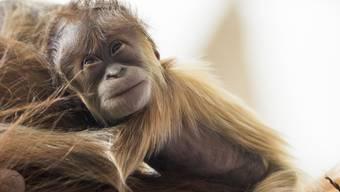 Der Basler Zoo freut sich über die Geburt eines Orang-Utan-Babys.