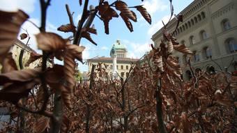 Frühlingserwachen in Bern: Braune Rotbuchen vor dem Bundeshaus. Dennis Bühler