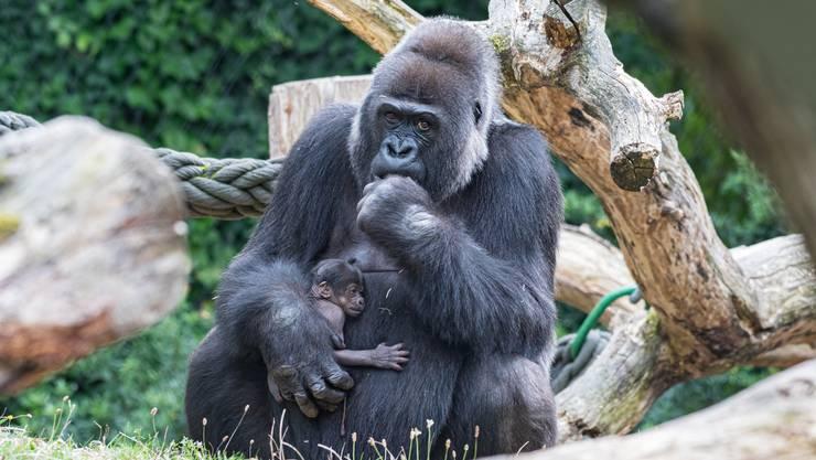 Am 1. September ist im Zoo Basel ein Gorilla zur Welt gekommen. Das Junge ist das vierte Kind von Mutter Faddama (36).