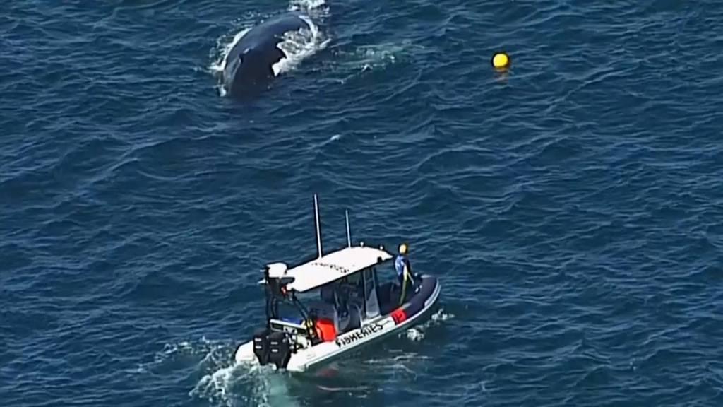 Walbaby aus Haifisch-Netz befreit