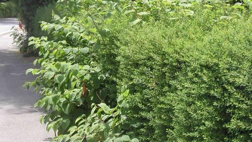 Der Japanische Knöterich ist bereits häufig zu finden. Die Bekämpfung dieser invasiver Neophyten ist äusserst schwierig.