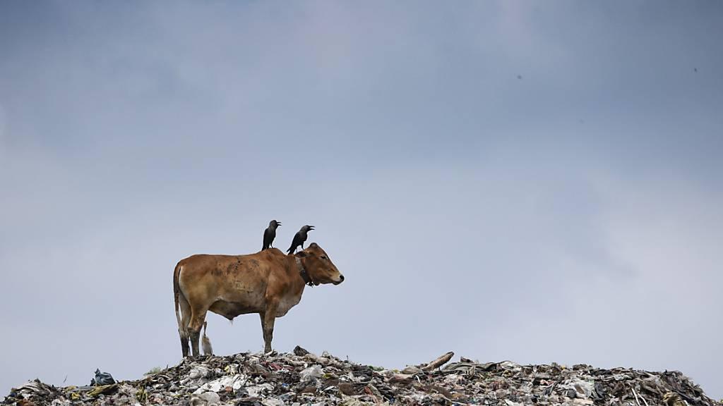 Prüfung in Kuh-Wissenschaft nach Kontroverse verschoben