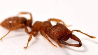 Die Dracula-Ameise Mystrium camillae ist neu Spitzenreiter der schnellsten Bewegungen im Tierreich.