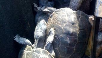Schildkrötenwanderung führt quer über das Flugfeld des Grossflughafens