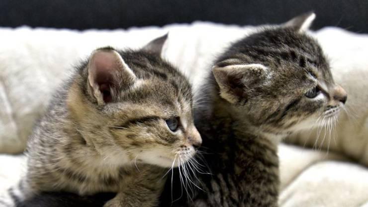 Gute Nachricht für verhinderte Büsi-Liebhaber: Die weit verbreitete Katzenhaar-Allergie ist besiegt. (Archivbild)