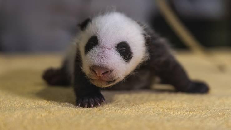 HANDOUT - Das vom Smithsonian's National Zoo veröffentlichte Foto zeigt ein sechs Wochen altes, noch unbenanntes Pandababy, das am 21. August 2020 im Zoo geboren wurde. Foto: Roshan Patel/Smithsonian's National Zoo/AP/dpa - ACHTUNG: Nur zur redaktionellen Verwendung im Zusammenhang mit der aktuellen Berichterstattung und nur mit vollständiger Nennung des vorstehenden Credits