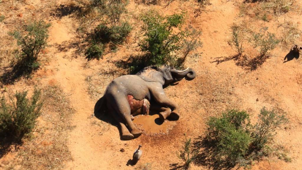 Tod durch Infektion? Zwölf Elefanten-Kadaver gefunden