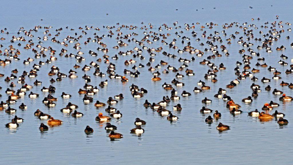 Freiwillige zählen die in der Schweiz überwinternden Wasservögel, auch diese Reiher-, Tafel- und Kolbenenten, die bei Cheyres FR auf dem Neuenburgersee ruhen.