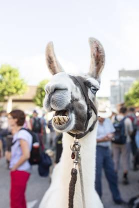 Lamas begleiten die 3. Etappe AZ-Leserwandern von Lohn-Lüterkofen nach Lüterswil, am 15. Juli 2018. Das ist vermutlich Catania. Mehr Infos auf www.lamatrekk.ch