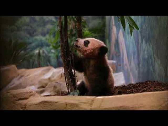 Pandababy Yuan Meng erkundet zum ersten Mal das Gehege im Zoo von Beauval