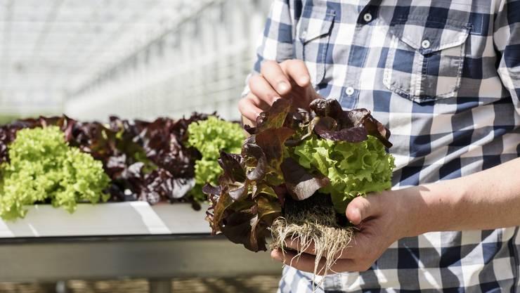 Bunte Sache: Der Hydrokultur-Salat aus Oftringen.