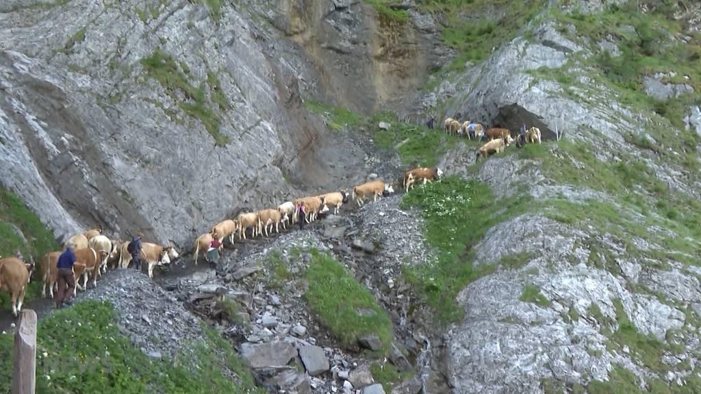 Spektakulärer Alpaufzug in Adelboden: Über 500 Kühe erklimmen die Engstligenalp