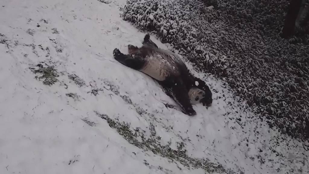 Pandas «schlitteln» im Zoo
