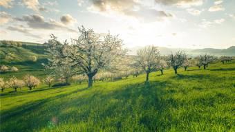 Gesucht werden Hochstammbäume, deren Früchte im Spätsommer an den Bäumen hängen bleiben. (Themenbild)