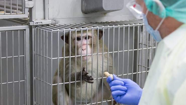 Die Zahl der in der Schweiz durchgeführten Tierversuche ist 2018 weiter zurückgegangen. Immer noch werden aber jährlich weit über eine halbe Million Tiere für Versuche eingesetzt. (Archivbild)