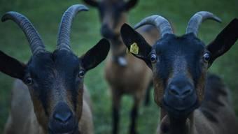 Produkte aus Ziegenmilch sind gefragt – vor allem Ziegenkäse verkauft sich bei den hiesigen Detailhändlern immer besser.