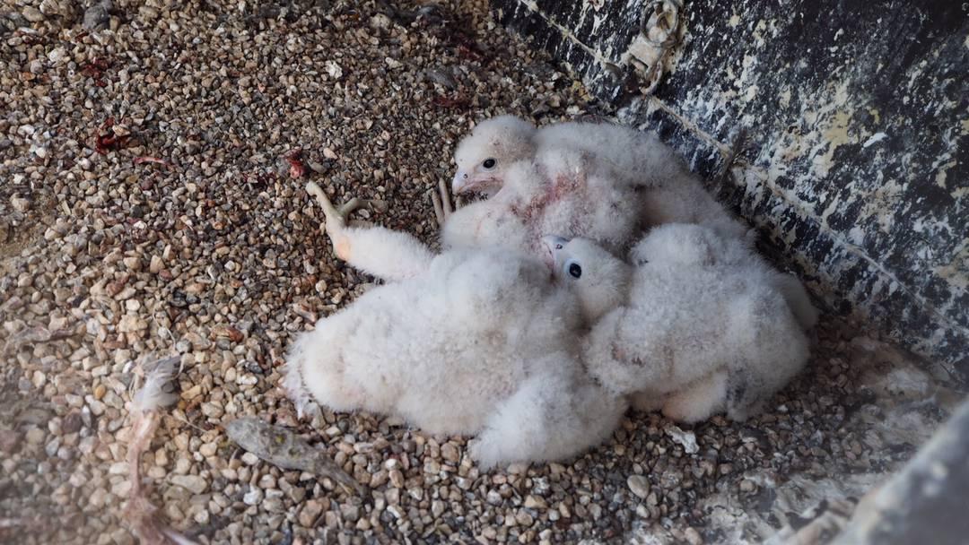 Hungrig wie die Grossen: Die kleinen Falken werden vom Weibchen gefüttert