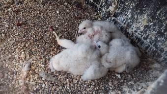 Hungrig wie die Grossen: Die neugeborenen Falken werden vom Weibchen gefüttert (Video vom 21.04.17)