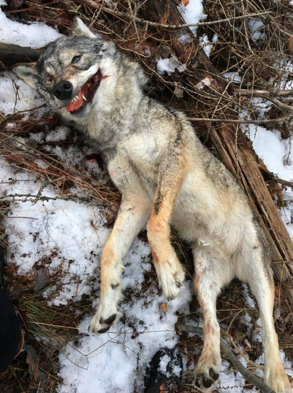 Im Walliser Tal hat jemand vor einem Monat illegalerweise ein ausgewachsenes Wolfsweibchen getötet.