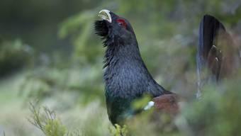 Das Auerhuhn ist der grösste Hühnervogel Europas, doch seine Bestände gehen vielerorts zurück. Im Kanton Schwyz scheinen die Tiere dank Schutzmassnahmen ideale Bedingungen vorzufinden.