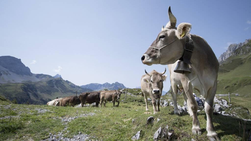Eine Kuh beim Alpabstieg am Klausenpass