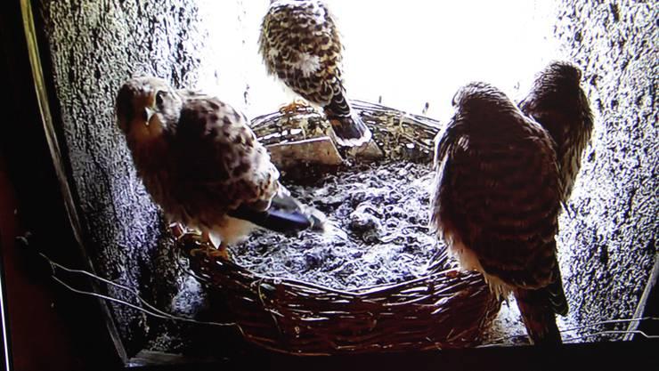Die Falken auf Alt Falkenstein sind fast flügge