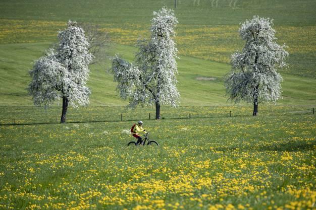 Ein Radfahrer geniesst die herrliche Fruehlings Landschaft am Samstag, 11. April 2020 in Ennetmoos im Kanton Nidwalden. (KEYSTONE/Urs Flueeler)