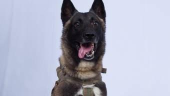Geheimhaltung für das Bild eigens aufgehoben: Der Hund, der bei der Verfolgung al-Bagdadis verletzt wurde. Sein Name bleibt aber weiter geheim.