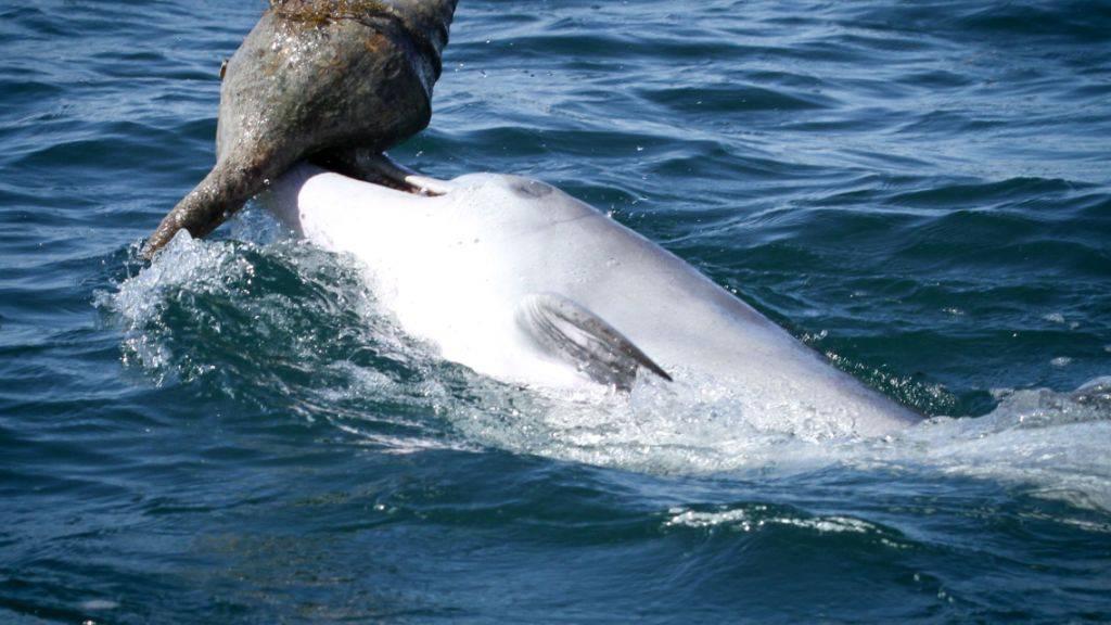 Neue Technik zum Beutefang: Delfine bringen beim sogenannten «Shelling» Gehäuse von Riesenschnecken an die Wasseroberfläche und schütteln sich die darin versteckte Beute ins Maul.