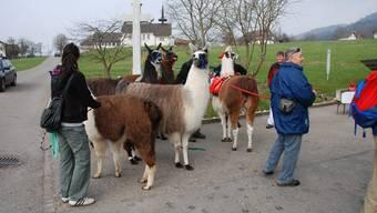 Lamatrekking: Tier und Mensch legen im Weiler Reckenkien oberhalb Mümliswils eine Pause ein. Der Ort ist nicht zufällig gewählt, denn dort produziert eine Käserei an 365 Tagen im Jahr Greyerzer